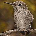 Baby Anna's Hummingbird by Lee Kirchhevel