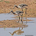 Baby Avocets At Grp by Tom Janca