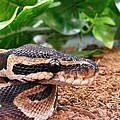 Baby Ball Python by Sierra Keith