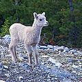 Baby Big Horn Sheep by Stuart Litoff