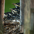 Baby Birds by Linda Kerkau