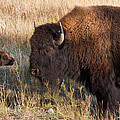 Baby Bison Meets Daddy by Kathleen Bishop