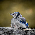 Baby Blue Jay by Robert Frederick