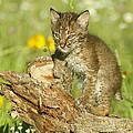 Baby Bobcat At Play by Myrna Bradshaw