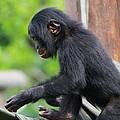 Baby Bonobo by Dan Sproul
