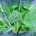 Baby Broccoli - Vegetable - Garden 2 by Andee Design