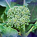 Baby Broccoli - Vegetable - Garden 4 by Andee Design