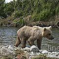 Baby Brown Bear Cub Walking Along Shore Of Funnel Creek by Dan Friend