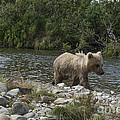 Baby Brown Bear Cub Walking Along The Shore by Dan Friend