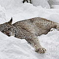 Baby Canadian Lynx Laying In The Snow by Inspired Nature Photography Fine Art Photography
