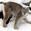 Baby Canadian Lynx Leaving The Winter Den by Inspired Nature Photography Fine Art Photography