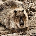 Baby Capybara by Photographic Art by Russel Ray Photos