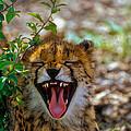 Baby Cheetah  by Mauro Celotti
