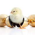 Baby Chick And Golden Eggs by Cindy Singleton