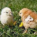 Baby Chicks by Athena Mckinzie