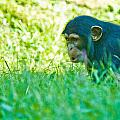 Baby Chimp In The Grass by Jonny D