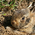 Baby Eastern Cottontail by Neal Eslinger
