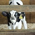 Baby Cow by Louise Magno