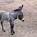 Baby Donkey by Jim Vance