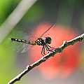 Baby Dragonfly by Mandy Shupp