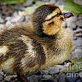 Baby Duck by Mariola Bitner