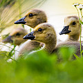 Baby Ducklings by Parker Cunningham