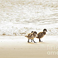 Baby Ducklings by Tim Hester