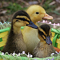 Baby Ducks by Sandy Keeton