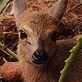 Baby Duiker by Tracey Beer