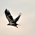 Baby Eagle Flying By  by Davids Digits