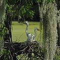 Baby Egrets by Cheryl Kostanesky