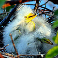 Baby Egrets by Davids Digits