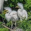Baby Egrets by Jane Luxton