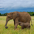Baby Elaphant by Charuhas Images