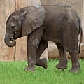Baby Elephant by Bruce Nutting