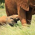 Baby Elephant Feeding by Deborah Benbrook