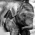 Baby Elephant by Gaurav Singh
