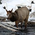 Baby Elk by Brenda Boyer