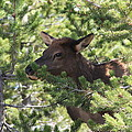 Baby Elk by G Berry