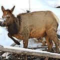 Baby Elk In Yellowstone by Brenda Boyer