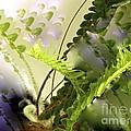 Baby Ferns Unfurling For Jim by Phyllis Kaltenbach