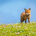 Baby Fox In Field Of Flowers by Scott Carlin