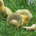 Baby Geese-mayer Lake-savannah by Ericamaxine Price