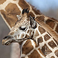 Baby Giraffe And Mother by Brandon Alms