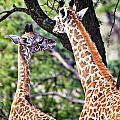 Baby Giraffes by Perla Copernik