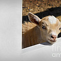 Baby Goat by Dianne Phelps