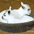 Baby Goats Lying In Food Pan by Millard H. Sharp