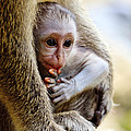 Baby Green Monkey - Barbados by Matteo Colombo