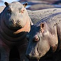 Baby Hippo by Amanda Stadther
