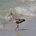Baby Ibis by Christiane Schulze Art And Photography